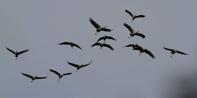 Birding Sobrarbe, mas Grullas!!