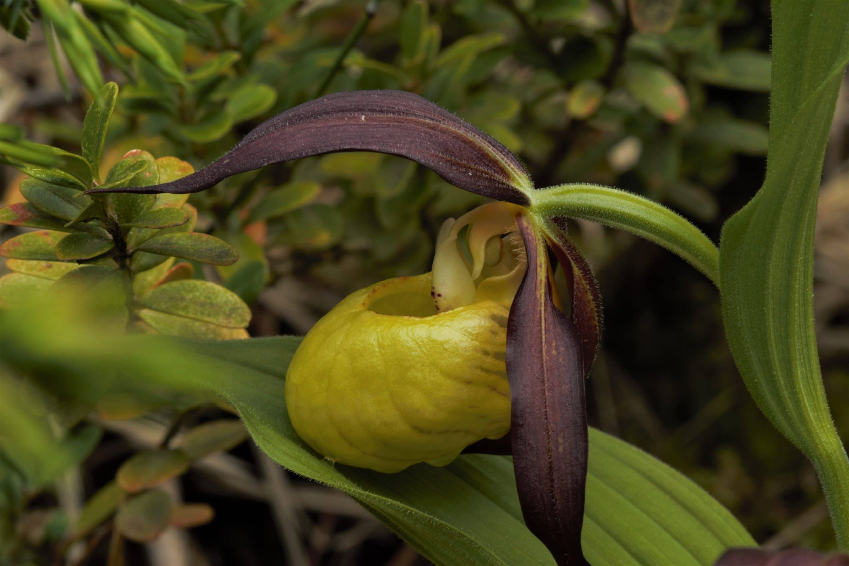 "Zapatito de Dama ""Cypripedium calceolus"""