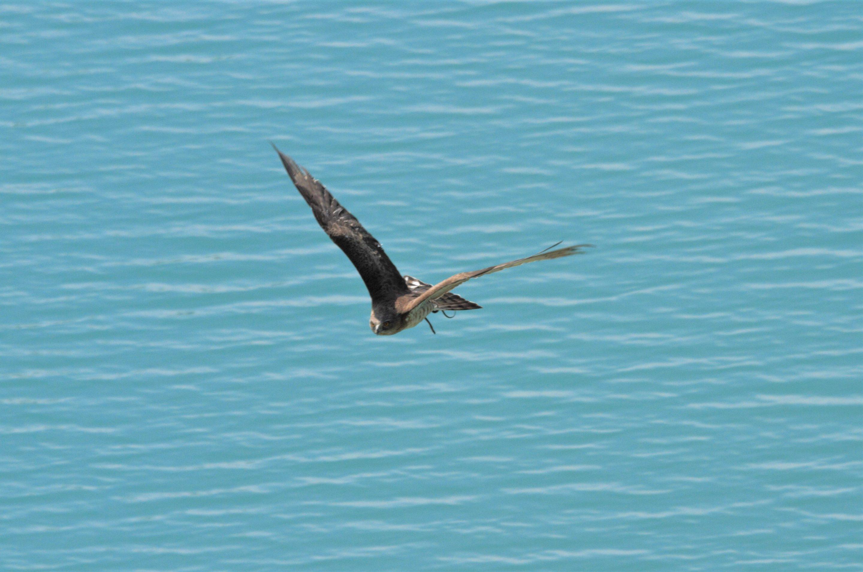 """Aguila culebrera """"Circaetus gallicus"""""""