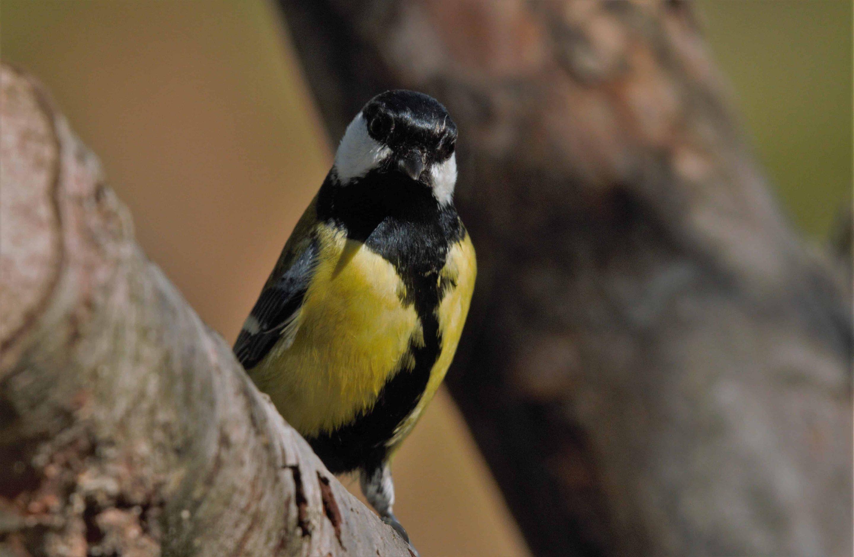 Hide Birding Sobrarbe y el Carbonero común